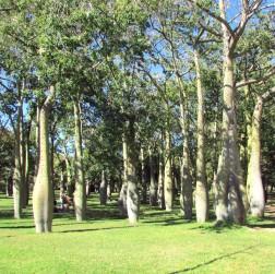 Florettseidenbaumwald
