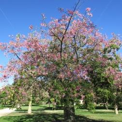 Der unglaubliche Florettseidenbaum (Ceiba speciosa)